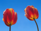 Two vivid red tulips brightly lit over a clear sky poster
