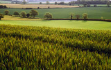 View over field of spring wheat and farmland Hertfordshire  poster
