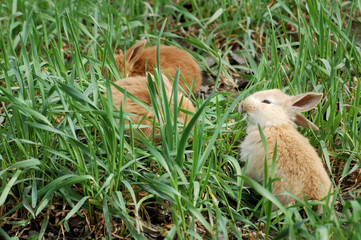 three small rabbits sitting together and eating green grass