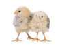 Leinwandbild Motiv Two cute little chicken on white background