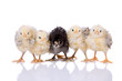 Leinwandbild Motiv Cute little chickens in a row on white background