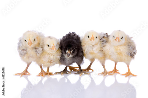 Leinwanddruck Bild Cute little chickens in a row on white background