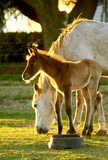 A young foal with mother.