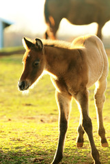 Young Foal at sunset