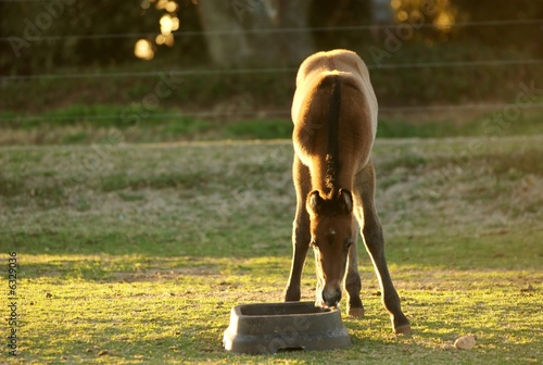 A young foal drinking water.