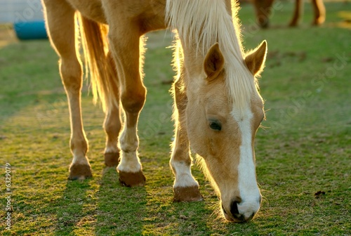 A horse grazing in a field.