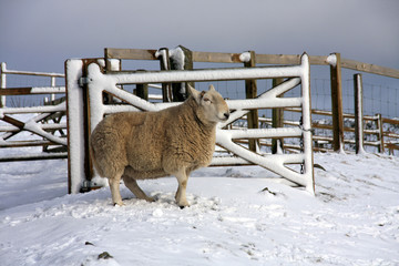 Sheep in the snow up in Northumberland's National park