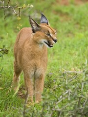 The Caracal is known to be very clever