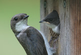 Tree Swallow Mother With Baby poster