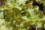 Shiso (perilla) is a common ingredient Japanese dishes poster