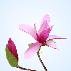 A realistic vector illustration of magnolia flower
