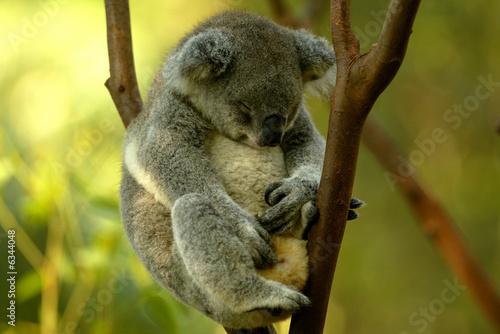 Fotobehang Koala Australian Koala