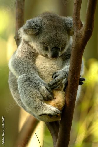 Foto Spatwand Koala Australian Koala