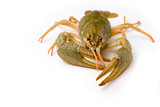 alive crawfish isolated on a white poster