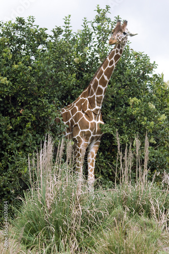 Picture of a giraffe on safari.