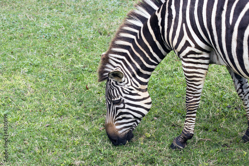 Closeup of Zebra forraging.