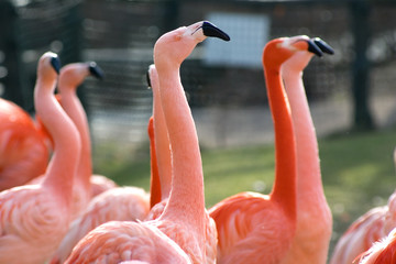 Group of ping cuban flamingo birds