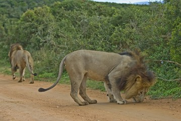 Addo Senior Coalition are the Leaders of all the lions here