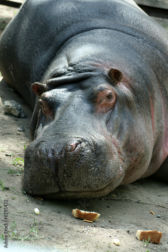big hippopotamus lays in a zoo