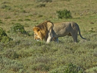 A Blonde Maned Male Lion out hunting on the African Plains