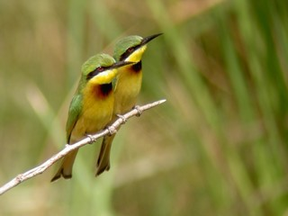 Little Bee-eaters, Merops pusillus