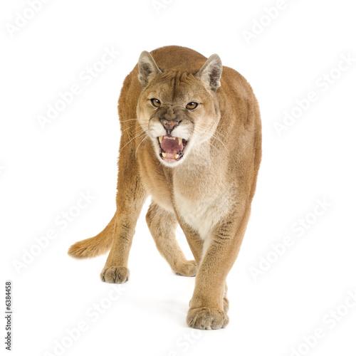 Plexiglas Puma Puma (17 years) - Puma concolor