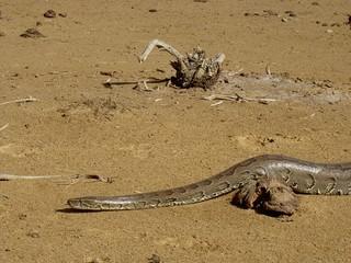 Python sebae, African Rock Python
