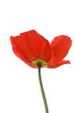 Poppy - Iceland Red poster