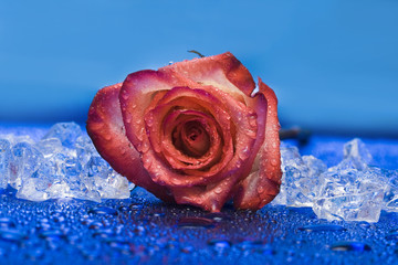 ice with rose on blue background