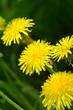 macro spring yellow dandelion
