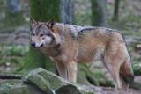 Fototapety Wolf