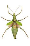 green insect (cyphocrania gigas) with clipping path poster