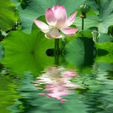 Fototapety reflets de lotus