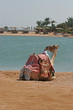 dromedary at the edge of the Red Sea