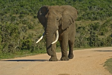 Large Bull Elephant in the road coming in to drink