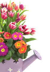 Spring in a can : tulips and primroses isolated