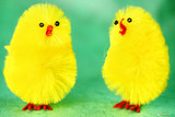 Easter Chicks chatting