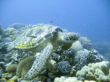 green sea turtle in a tropical coral reef scuba diving adventure poster