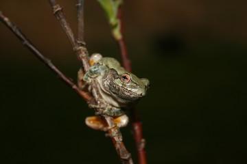 Grey Treefrog (Hyla versicolor / Hyla chrysoscelis)