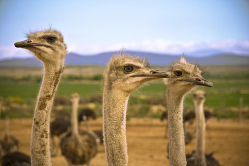 Ostriches in the Karoo desert