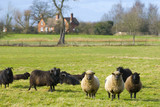 Sheep in rural UK with farm building backdrop poster