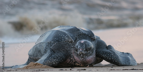 Foto op Aluminium Schildpad Leatherback sea turtle, South America