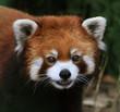 A Red Panda.Close up.