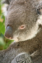 Closeup of a koala..