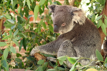 Koala in a tree..