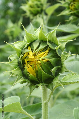 Closed sunflower bud, ready to open ..