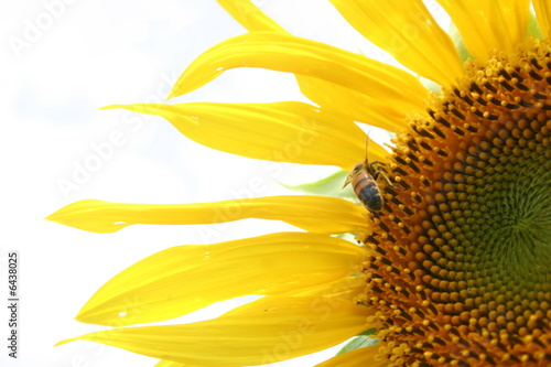 Section of a sunflower petals on a white background..