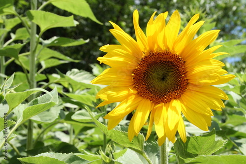 Wide open sunflower in bright daylight..