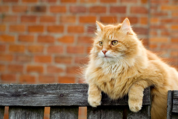 Red cat sitting on the fence of farm house