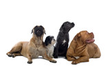 Bull mastiff,shih tzu,cane corso and a french mastiff   poster